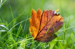 Feuille orange lumineuse d'automne dans l'herbe, contre-jour, feuille d'aubépine contre la lumière du soleil Photographie stock