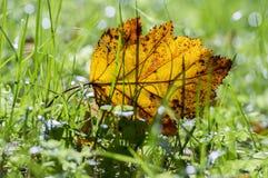 Feuille orange lumineuse d'automne dans l'herbe, contre-jour, feuille d'aubépine contre la lumière du soleil Images libres de droits