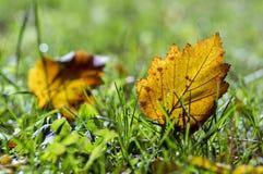 Feuille orange lumineuse d'automne dans l'herbe, contre-jour, feuille d'aubépine contre la lumière du soleil Photo stock