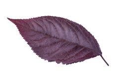 Feuille pourpre de prune d'isolement sur un fond blanc Feuilles rouges de prune Feuillage coloré Herbes fraîches d'automne Textur Photo libre de droits