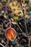 Feuille rougeâtre lumineuse d'automne avec le gel image libre de droits