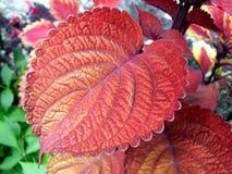 Feuille rouge Image libre de droits