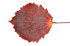 Feuille rouge Photo stock