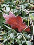 Feuille rouge avec la gelée photos libres de droits