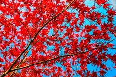 Feuille rouge avec le ciel bleu Changement de saison Photos libres de droits
