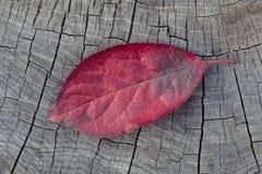 Feuille rouge d'automne Images libres de droits