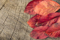 Feuille rouge d'automne Photo stock