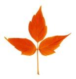 Feuille rouge d'automne Photo libre de droits
