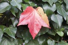 Feuille rouge d'automne entre les feuilles vertes Photographie stock