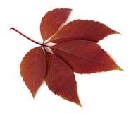 Feuille rouge de plante grimpante de Virginie d'automne sur le fond blanc Image stock