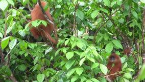 Feuille rouge de singe sur la branche d'arbre clips vidéos
