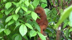 Feuille rouge de singe sur la branche d'arbre banque de vidéos