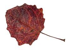 Feuille rouge foncé tombée sèche d'automne d'arbre de tremble image libre de droits
