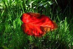 Feuille rouge lumineuse de houx dans une herbe verte juteuse 2 Photos libres de droits