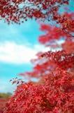 Feuille rouge Momiji La chute est saison très colorée du Japon image libre de droits