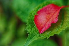 Feuille rouge sur la feuille verte Photographie stock