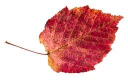 Feuille rouge tombée sèche d'automne d'arbre d'aulne images libres de droits