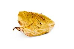Feuille sèche de Brown sur un fond blanc avec l'ombre Images libres de droits