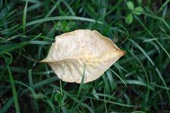 Feuille sèche sur l'herbe Image stock