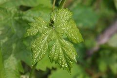 Feuille saine verte de raisin sur la tige dans le jardin Photo stock