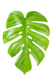 Feuille simple de Monstera d'isolement sur le blanc Image stock