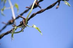Feuille supérieure de plante grimpante de courge de lierre avec le barbelé de rouille compatible parfaitement sur le ciel bleu de photos libres de droits