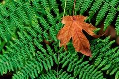 Feuille tombée morte d'or d'automne de Brown avec la fougère photos libres de droits