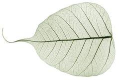 Feuille tombée sèche transparente verte Image libre de droits