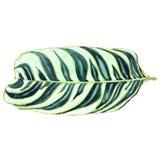 Feuille tropicale décorative avec des veines d'isolement sur le blanc Photo stock