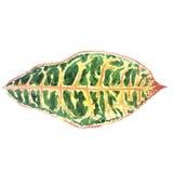 Feuille tropicale décorative avec les veines colorées d'isolement sur le blanc Image libre de droits