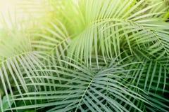 Feuille tropicale d'usine de Phoenix avec la lumière Texture abstraite, fond exotique naturel de vert de jungle Image stock