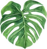 Feuille tropicale de monstera Illustration peinte ? la main d'aquarelle d'isolement sur le fond blanc illustration libre de droits