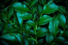 Feuille tropicale, texture verte abstraite, vert l de fond de nature Image stock