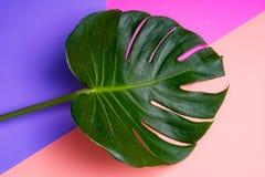 Feuille tropicale verte fraîche de Monstera sur le fond rose et de perple, vue supérieure image libre de droits