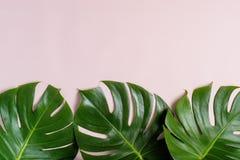 Feuille tropicale verte fra?che de Monstera sur le fond rose avec l'espace de copie, vue sup?rieure photos stock