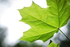 Feuille vert clair d'une fin d'érable  Image libre de droits