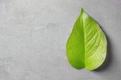 Feuille vert clair sur le fond gris Photos stock