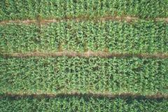 Feuille vert-foncé de nature d'arbre de maïs pour la texture et le fond Photo libre de droits