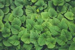 Feuille vert-foncé de nature d'usine de lierre pour la texture et le fond Photos stock