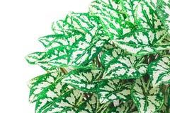 Feuille verte à l'arrière-plan blanc Photo libre de droits