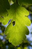 Feuille verte éclairée à contre-jour par le Sun Images stock