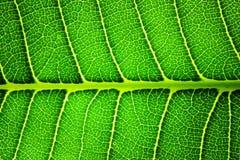 Feuille verte éclairée à contre-jour par plan rapproché Images libres de droits