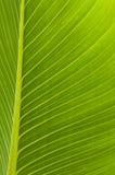 Feuille verte allumée par dos avec des veines Photographie stock