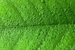 Feuille verte avec des baisses de l'eau au-dessus de elle photos libres de droits
