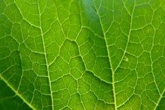 Feuille verte avec haut étroit de veines Image stock