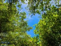 Feuille verte avec la texture de fond de ciel bleu et de nuage, arbre d'amande de la Côte d'Ivoire photo stock