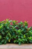 Feuille verte avec le mur rouge de texture Images stock