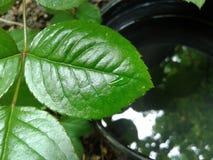 Feuille verte avec une goutte de l'eau au-dessus d'un pot noir avec de l'eau Photos libres de droits