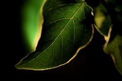 Feuille verte contre le noir Image stock