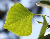 Feuille verte d'arbre éclairée à contre-jour Photo stock